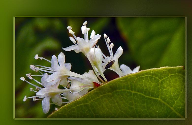 Klein boeketje - Deze bloemetjes zijn een stukje van een tros. Als je deze struik in je tuin hebt krijg je hem met moeite weg, vanwege zijn wortelstok