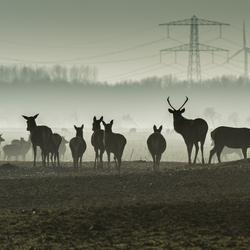 Herten in de Oostvaardersplassen