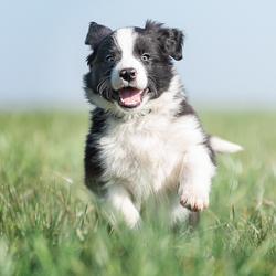 Enthousiaste 6 week oude Border Collie puppy