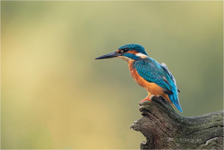 IJsvogel  - IJsvogels zijn prachtig en een bijna ideaal onderwerp voor een natuurfotograaf. Met de rustige achtergrond maakt dit m.i een fraai plaatje