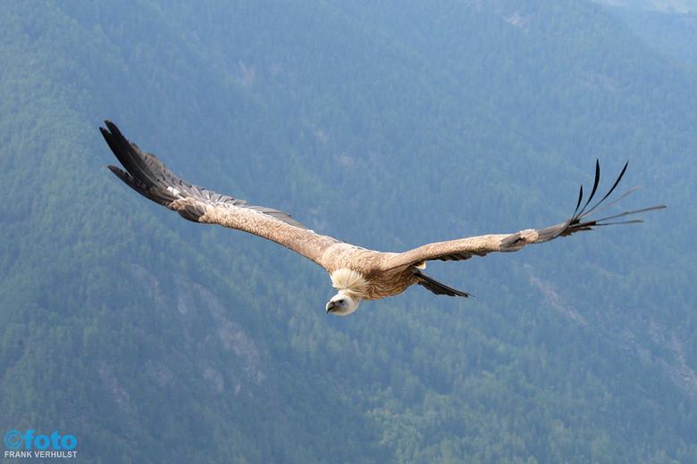 gier - gier bij een roofvogelshow in oostenrijk , vandaar de achtergrond