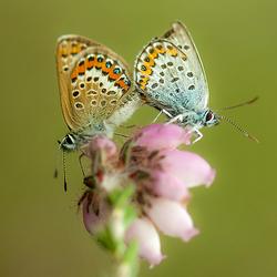 Parende Heideblauwtjes