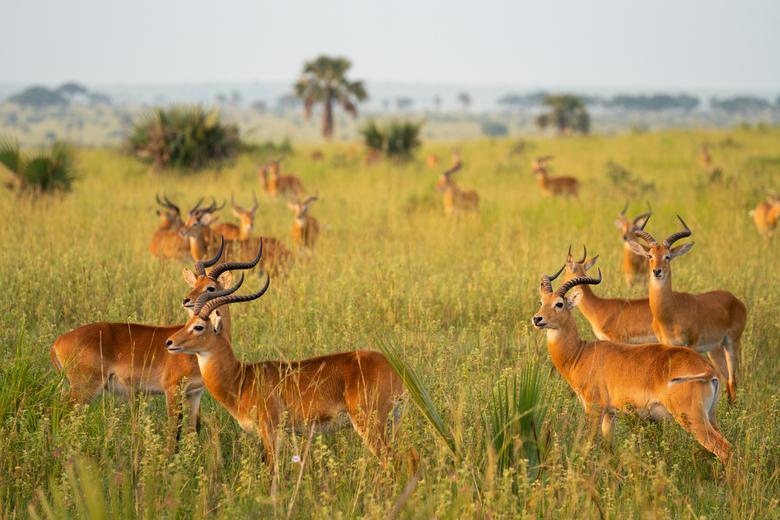 Kudde antilopes - Kudde Antilopes in Uganda, Murchison Falls National Park