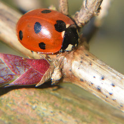 Coccinella Septempunctata (LHB)