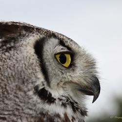 Oehoe tijdens uilen en roofvogelshow