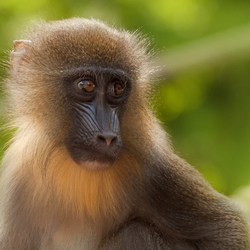 klein Mandril aapje