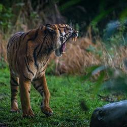 Sumatraanse tijger .