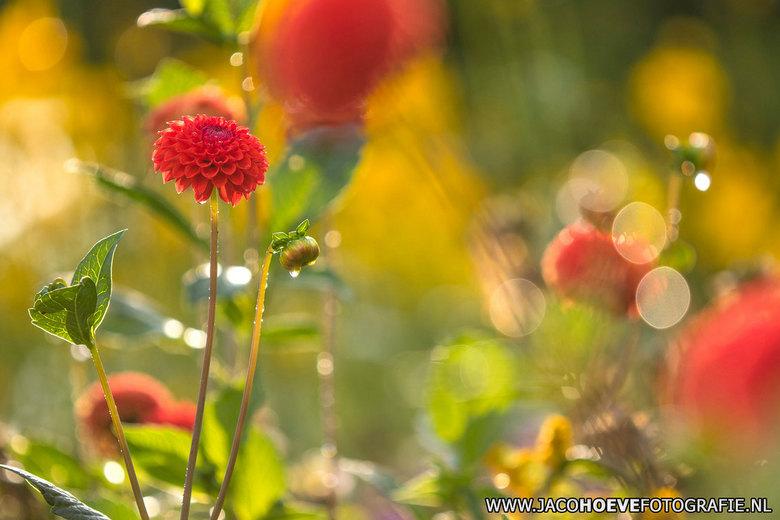 Dahlia's - De dahlia's genieten van de zon na een heftige regenbui.