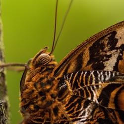 Vlinderportretje