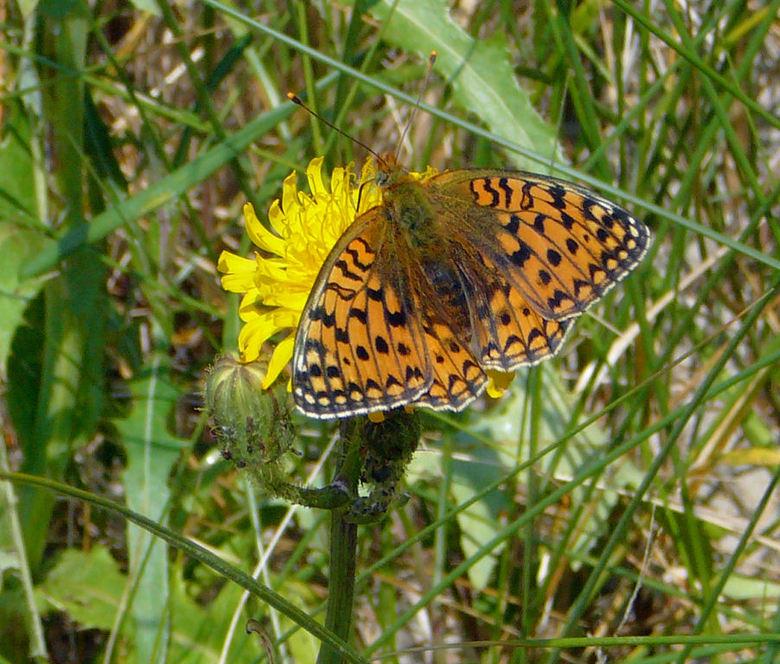 vlinder op ameland - wie kan me aan de naam van deze vlinder helpen?<br /> ik zag hem op Ameland.  Omdat ik deze nog nooit eerder had gezien, toch ga