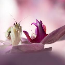 orchidee-bidsprinkhaan