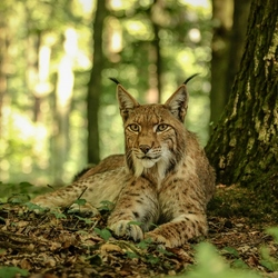 Beast in the bush (lynx)