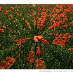 Poppy Fever
