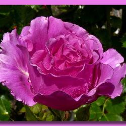 knalroze roos