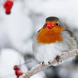 Rudolph the Rednose Robin