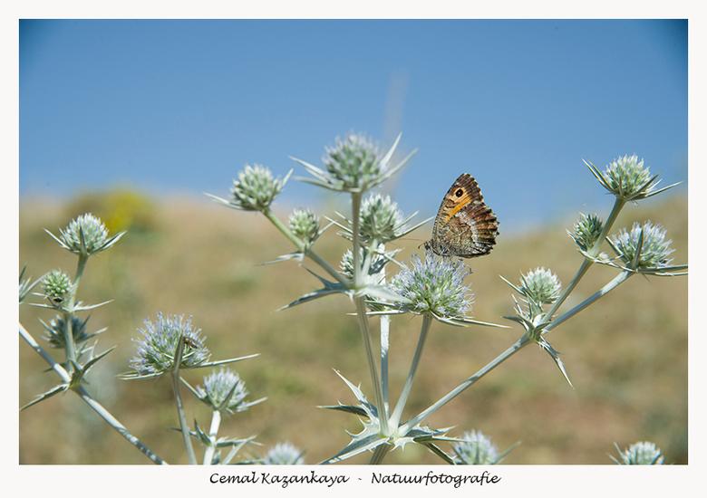 Vlinder op distelbloem