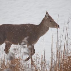 Edelhertje steekt zijn tong uit voor de sneeuw