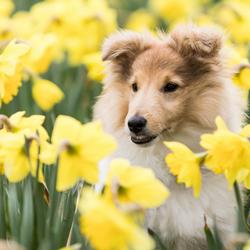 Sheltie pup tussen de narcissen