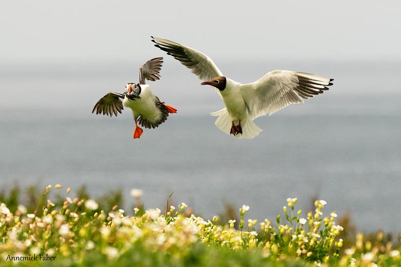 calabatsjafoto - Tijdens ons bezoek aan de puffins op de Farnes eilanden tijdens de broedtijd zag je dat de vogels, iedere keer als ze vis uit zee geh