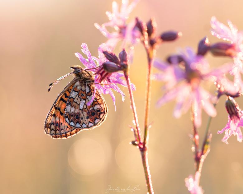 ochtendlicht - Genieten op zo'n vroege ochtend als je een vlinder met mooi zacht tegenlicht kunt fotograferen.