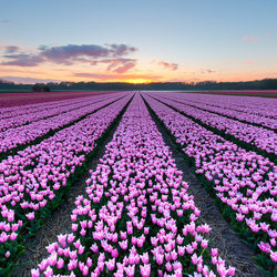 Sunset over a field of beautyful Tulips