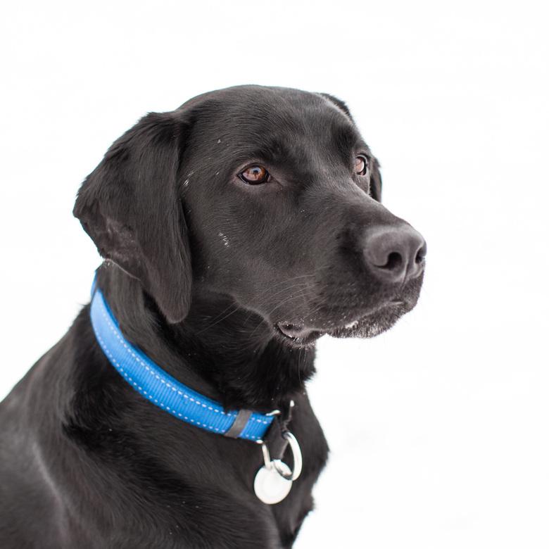 Zwarte Labrador -