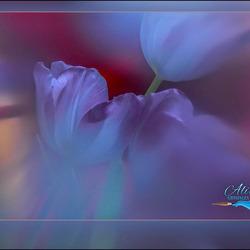 tulpen..............