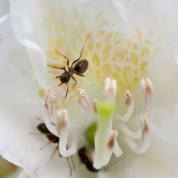 mieren in een witte bloem