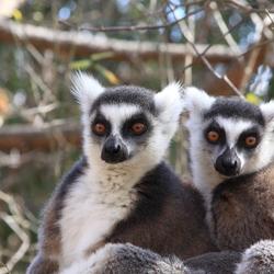 Lemuren/Maki's Madagaskar