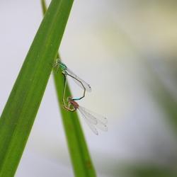 Parende libellen achter huis