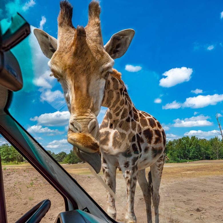 giraffe carwash - Technisch niet de beste foto, maar wel een hele leuke. In het kader van lekker weg in eigen land dit weekend naar de Beekse Bergen g