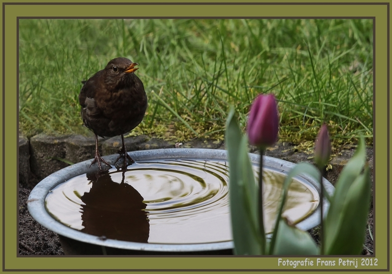 """Uit eigen tuin - <span style=""""font-weight:bold;"""">De merel van vorig jaar is weer terug. Even uitrusten en slokje water. Het bouwen van haar nest vergt"""