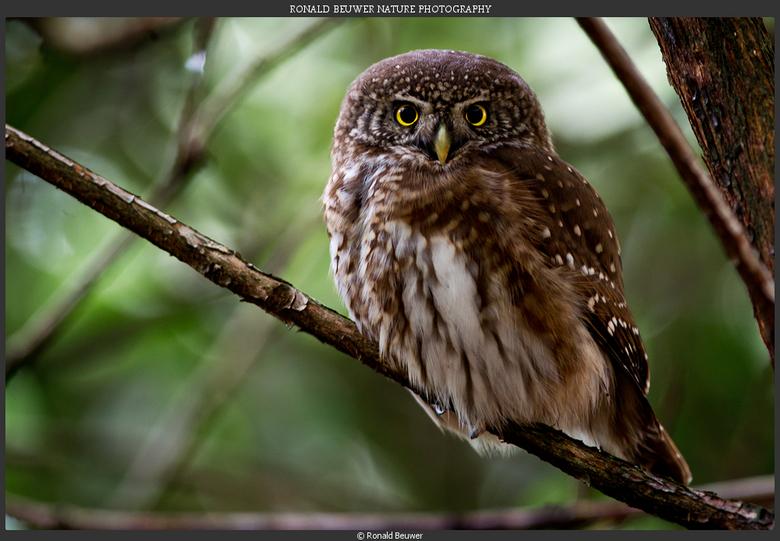Dwerguil :-)  - Woensdag toch maar op bezoek geweest bij de dwerguil. Het schattigste diertje dat ik ooit gezien heb!! Een super dag gehad bij deze ze