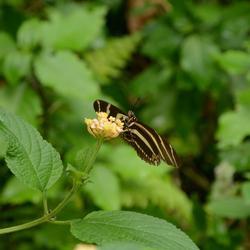 Zebra Longwings Butterfly