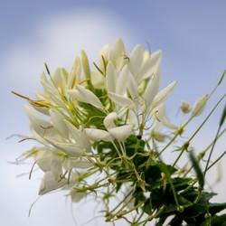 Spider Flower, cleome-hassleriana