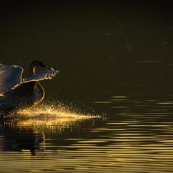 Zwaan in het ochtendlicht