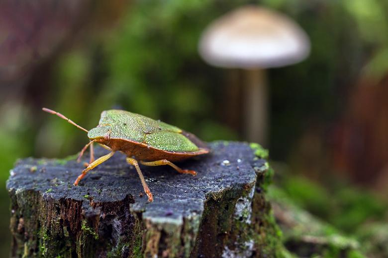 Groene schildwants - Deze wants bewoog zich traag tussen de bladeren en ik heb hem hier een ereplaats gegeven.