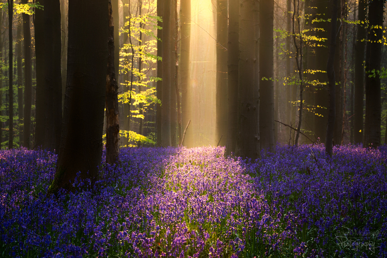 Bluebell magic