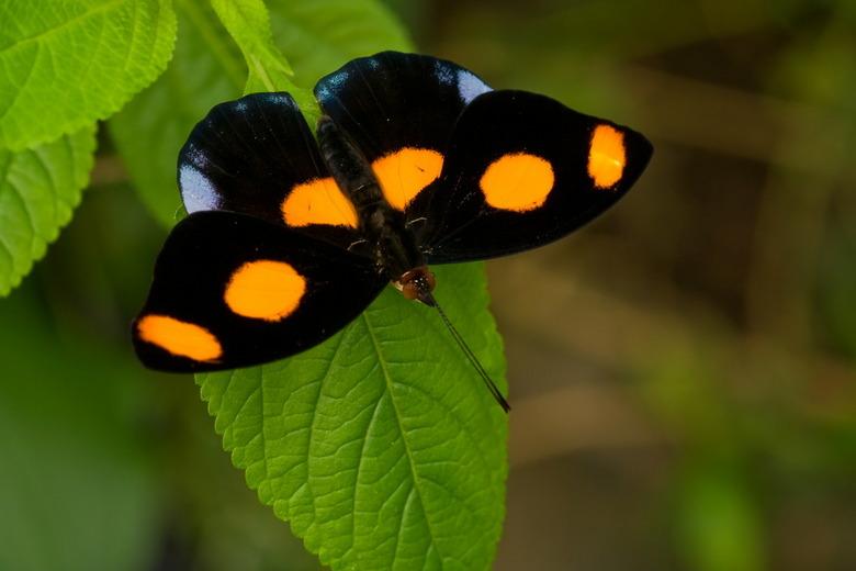 Catonephele numilia - Dit is het mannetje van deze soort, het vrouwtje ziet er heel anders uit.<br /> Google maar eens op internet.