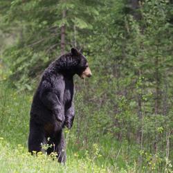 black bear standing up