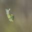 Paringsdans van Citroenvlinders