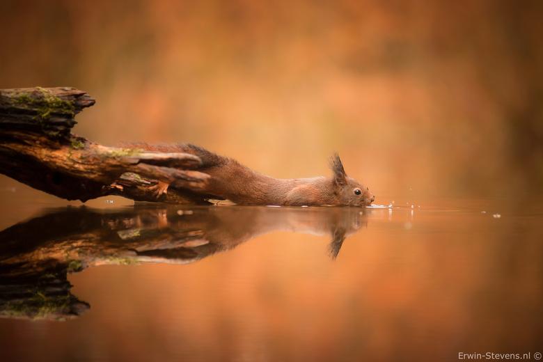 Eekhoorn 1 - Deze eekhoorn moest zich strekken om een nootje uit het water te vissen.