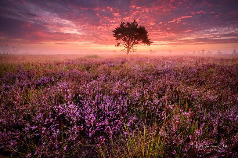 Purple Dream - Zondagochtend om 3.30 de wekker gezet want ze gaven mooie mist omstandigheden op. Op naar de heide die begint op steeds meer plekken te