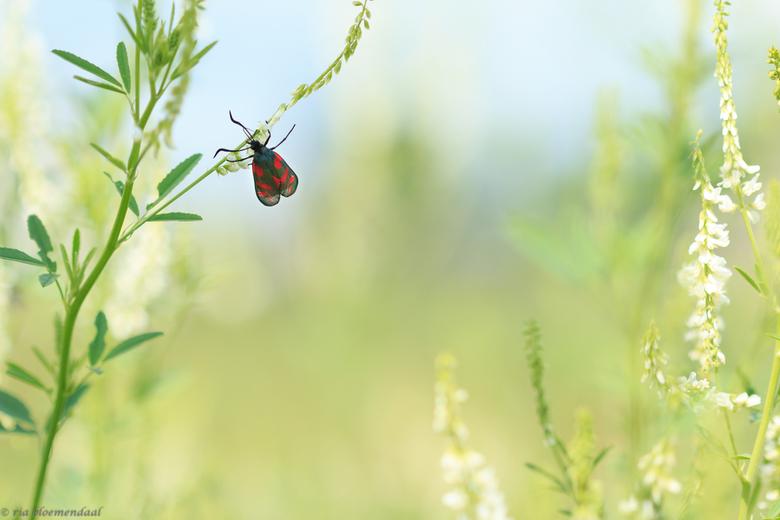 st.jansvlinder op honingklaver