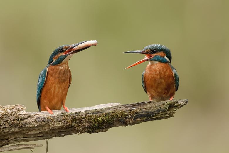 IJsvogel liefdeverklaring - Het mannetje (links) is bezig met zijn liefde te verklaren aan het vrouwtje (rechts).<br /> Dit is een ritueel die zich v