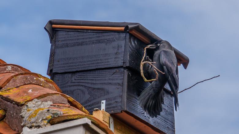 Hoezo te lang ? - &quot;Het lijkt wel of het niet wil lukken met de aanleg van ons nieuwe nest. Er klopt iets niet ... maar wat ?&quot;<br /> Ma Kauw