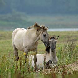 Millingerwaard: Konikpaarden
