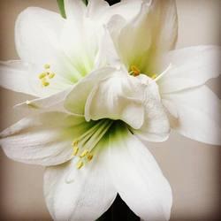 Amarilles in bloei