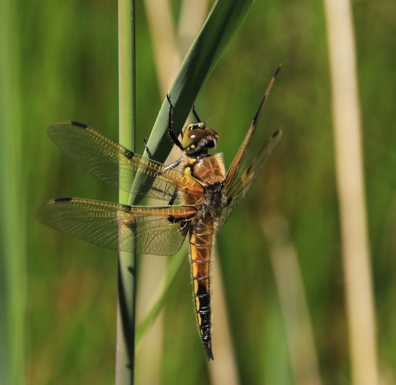 Libelle - In het Naarder-meer heb ik vanmiddag <br /> meerdere libelle s, deze viervlek-libelle rustig op een rietstengel en lukte het mij om hem vas