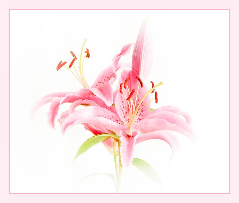 Roze - Foto is binnen gemaakt.<br /> In Lightroom kon ik de kleuren van de oorspronkelijke foto apart bewerken. Sommige maakte ik lichter, andere jui